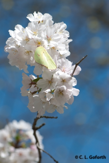cloudless sulphus on cherry