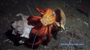 Hermit crab changes its shell
