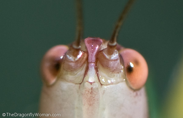 black legged katydid eyes