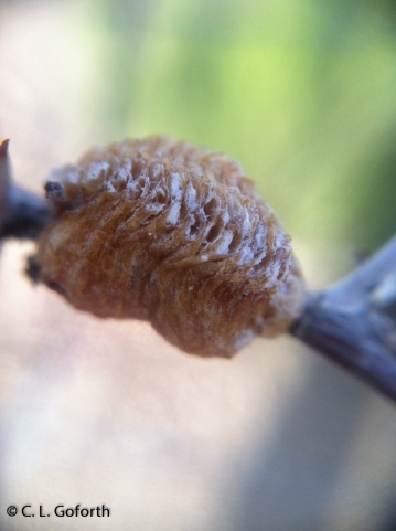 mantid egg case