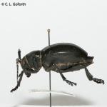 Cactus beetle
