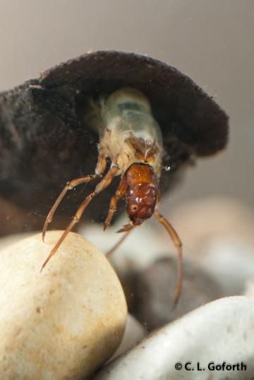 Phylliocus aeneus