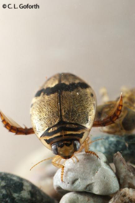 Thermonectus nigrofasciatus