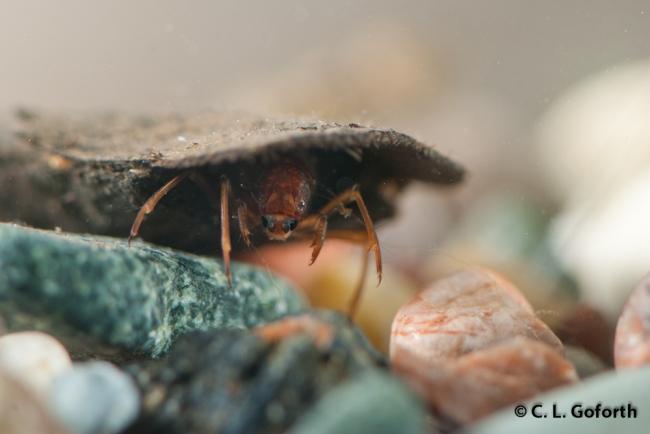 Phylloicus caddisfly