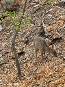 Coue's deer in Ramsey Canyon
