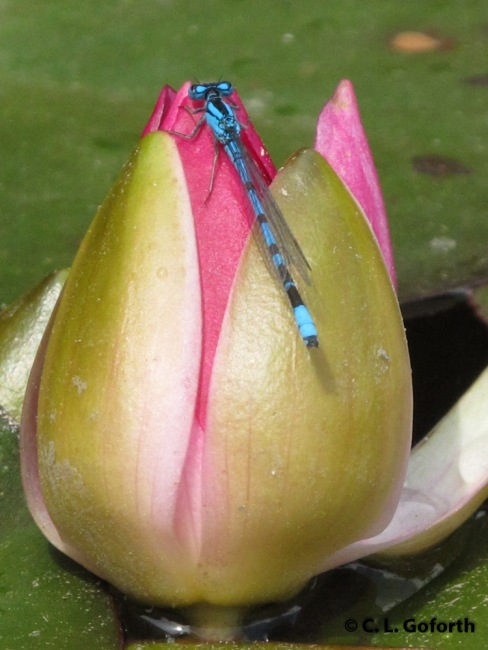 Damselfly on Water Lily