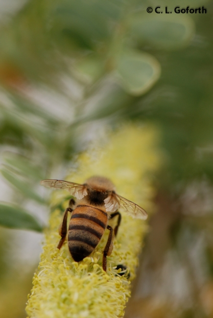 Honey Bee on Mesquite Catkin