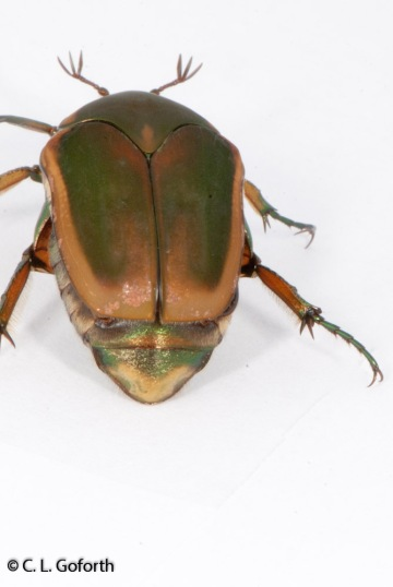 Green June beetle, Cotinis nitida
