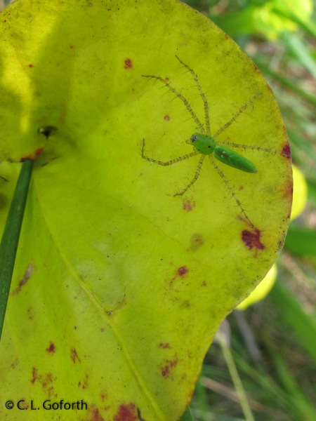 Green lynx spider on yellow pitcher plant lid