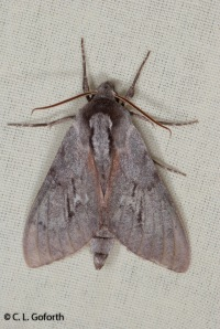 Southern pine sphinx moth