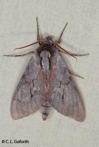 Southern pine sphinx moth