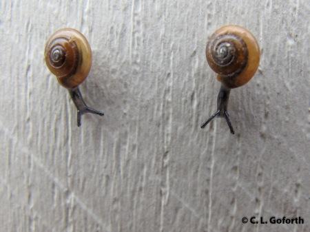 racing snails