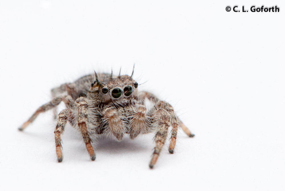 Well nigh wordless wednesday jumping spider the for How can i stop spiders from coming in my house