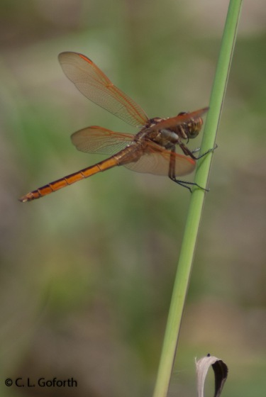 Golden winged skimmer