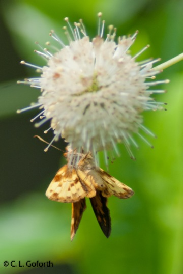 Zabulon skipper male on buttonbush