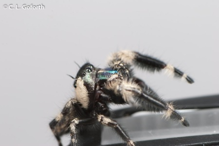 Jumping spider on flash