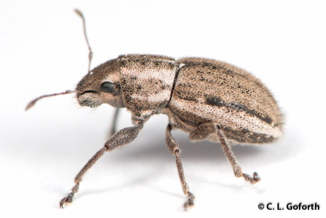 Weevil side