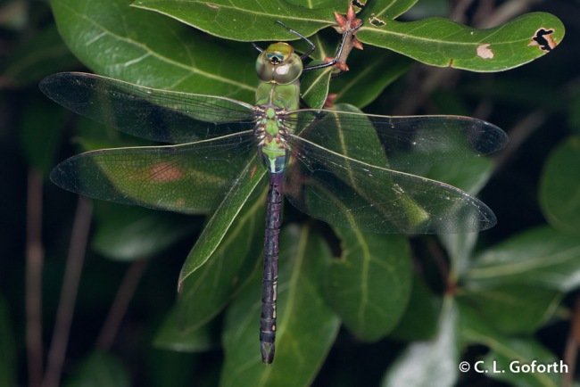 Darner in the Dark