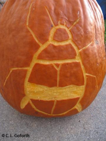 Dytiscid beetle pumpkin