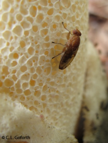 fly on stinkhorn