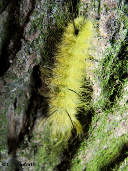 Acronicta americana caterpillar