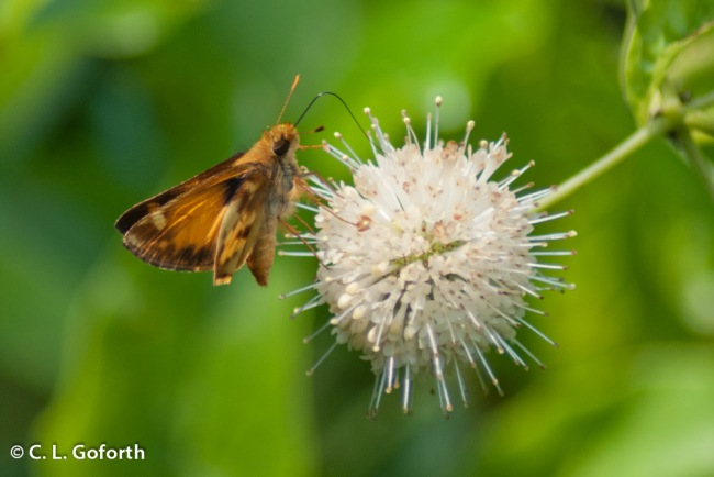 buttonbush flower with butterfly