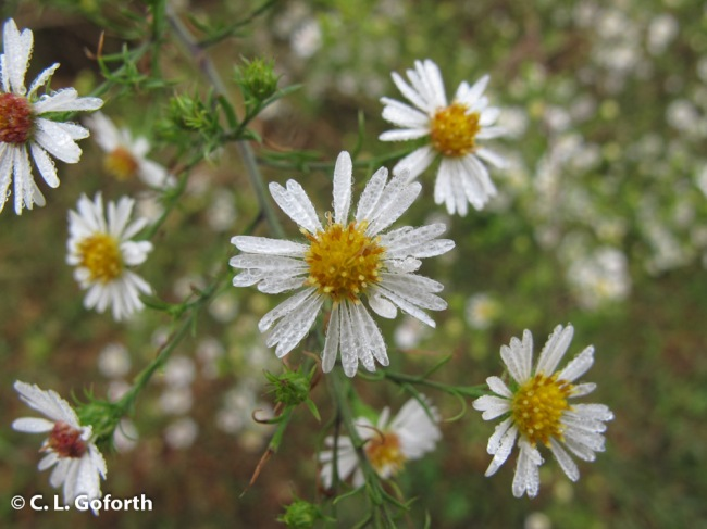 Frost aster