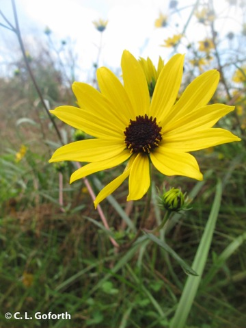 narrow-leafed sunflower