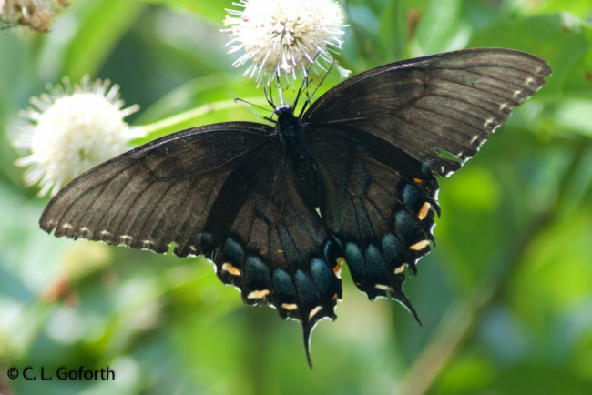 Eastern tiger swallowtail black form