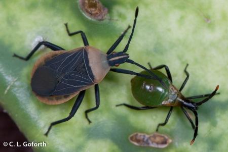 Opuntia bugs