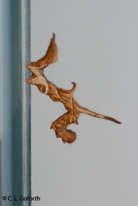 curve lined owlet caterpillar