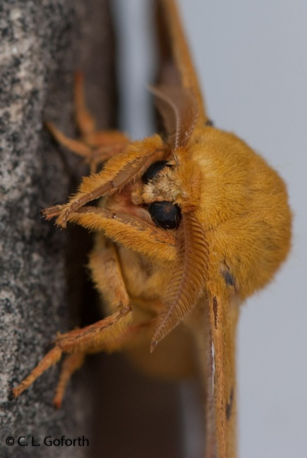 Fuzzy yellow moth