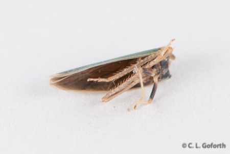 Headless leafhopper