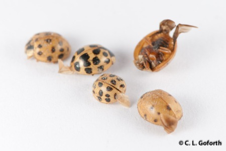 Asian multicolored ladybeetles