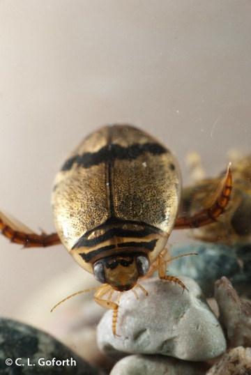 Predaceous diving beetle, Thermonectus nigrofasciatus