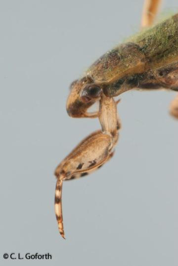 Giant water bug, Belostoma flumineum