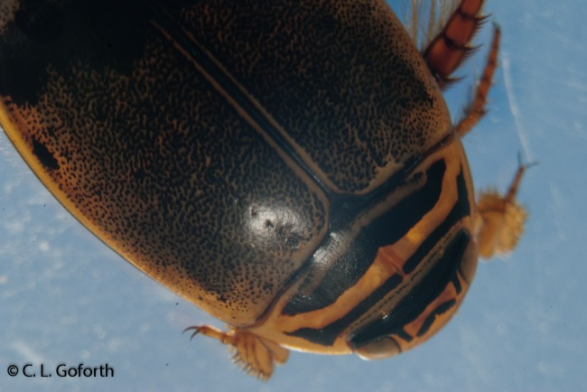 Predaceous diving beetle under microscope