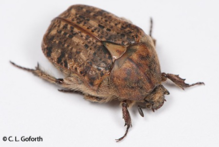 Bumble flower beetle, Euphoria nigra.