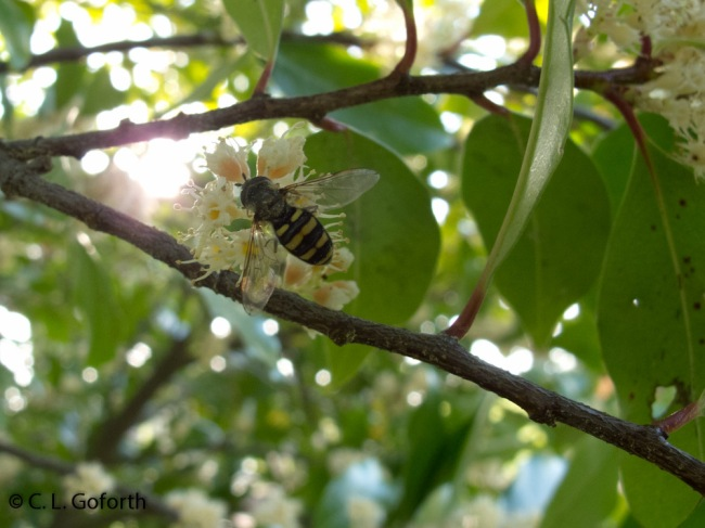 hover fly on cherry laurel