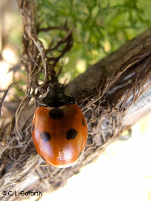 seven spot ladybug