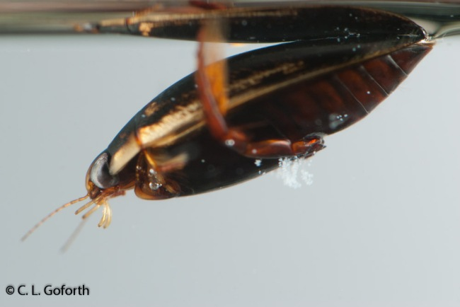 Predaceous diving beetle, Thermonectus basillarus