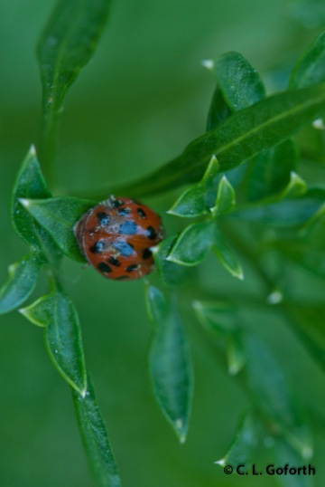 Asian multicolored ladybeetle adult (Harmonia axyridis)