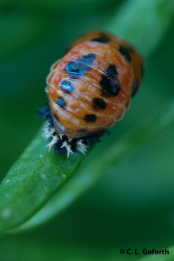 Asian multicolored ladybeetle pupa (Harmonia axyridis)
