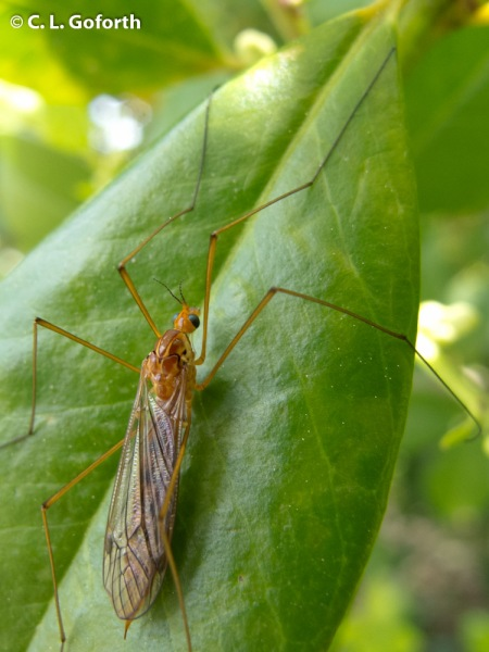 Crane Fly on Holly