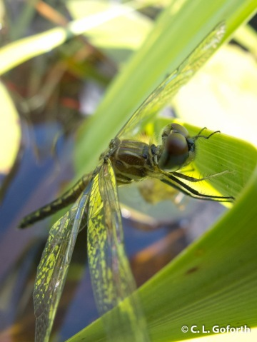 Blue dasher ready to fly