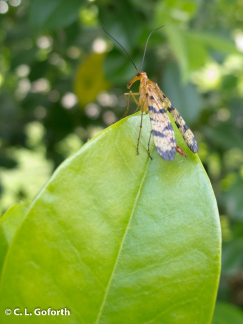Scorpionfly on holly
