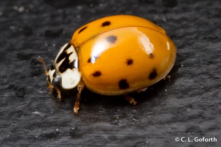 Asian multicolored ladybeetle