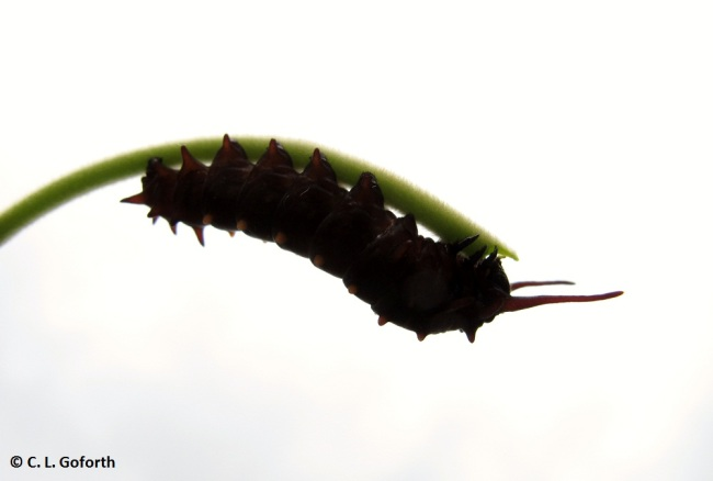 Pipevine swallowtail caterpillar, Battus philenor larva
