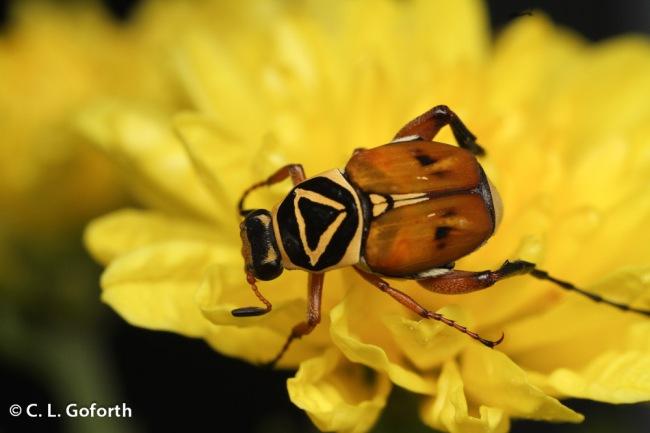 Delta flower scarab