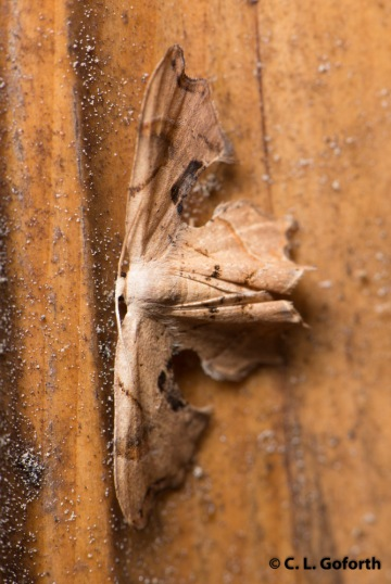 Brown scoopwing, Calledapteryx dryopterata